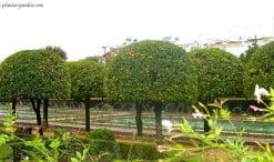 Naranjos, Citrus sinensis podados con frutos en la planta