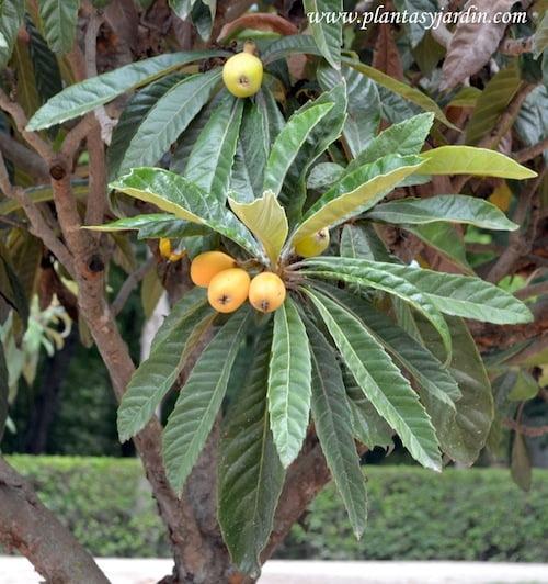 Nispero en primavera con el fruto en la planta