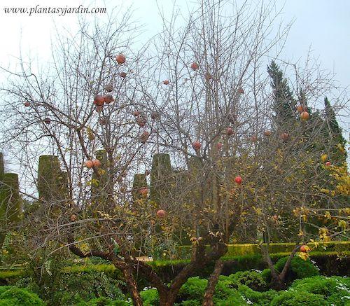 Punica granatum con frutos en la planta, el Granado