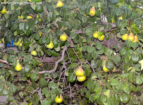 Pyrus communis-Peral común, con fruto en verano