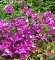 Las Buganvillas y el Jazmín apenas dan flores