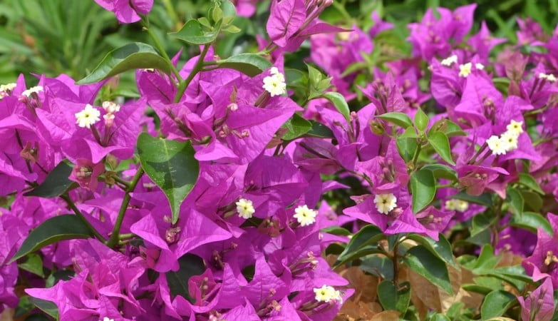 Bougainvillea de brácteas fucsias y sus verdadera florcitas amarillas