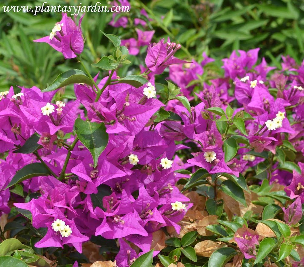 Las buganvillas y el jazm n apenas dan flores plantas - Fotos de buganvillas ...