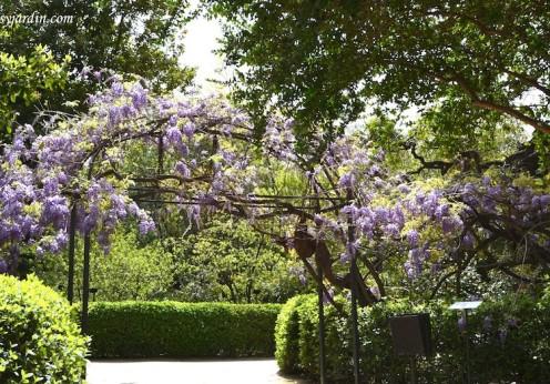 Glicina, ejemplar de 230 toneladas de peso en el Real Jardín Botánico de Madrid