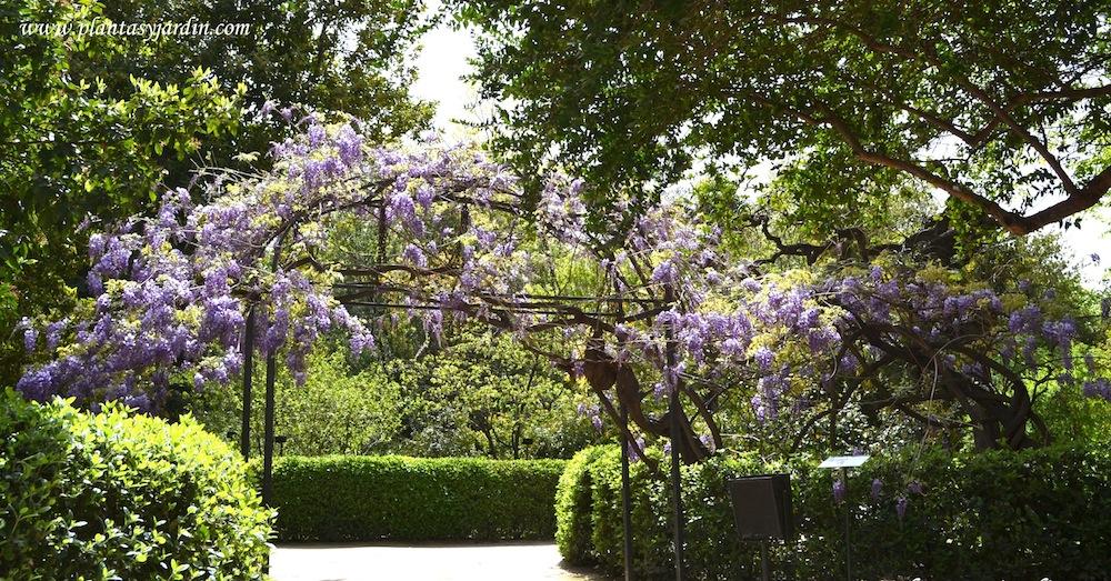 Clasificaci n de las plantas enredaderas o trepadoras plantas y jard n - Plantas trepadoras para pergolas ...