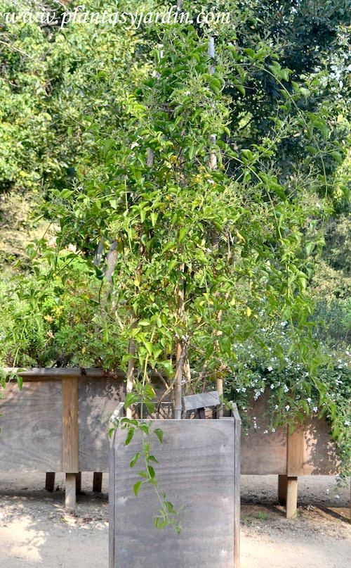 Jasminum azoricum con algunas flores a comienzos del otoño