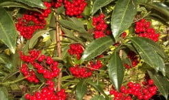 Ardisia berries. Foto: growerjim.blogspot.com
