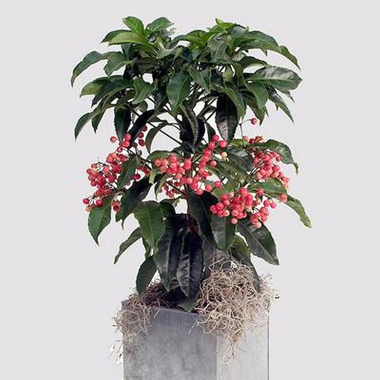 Ardisia crenata. Foto: http://www.plantsrescue.com/tag/ardisia-crenata-var-bicolor/