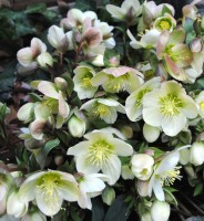Helleborus niger, la rosa de Noel o de Navidad