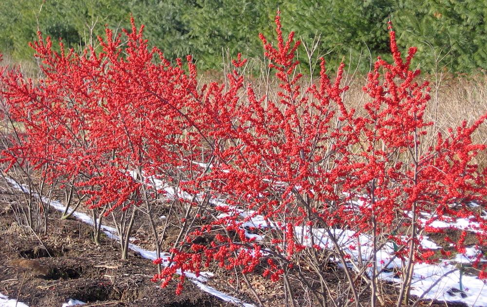 Ilex verticillata Foto: www.naturallandscapesnursery.com