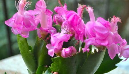Rhipsalidopsis gaertneri sinónimo de Hatiora gaertneri