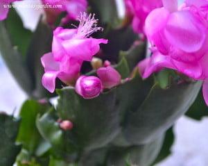 Rhipsalidopsis gaertneri sinónimo de Hatiora gaertneri detalle de flor