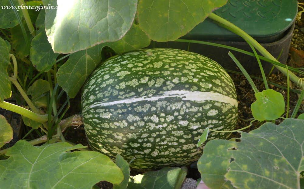 Fruto carnoso en forma de pepónide propio de la familia de las Cucurbitáceas dentro de ese tipo de fruto se encuentran los frutos más grandes