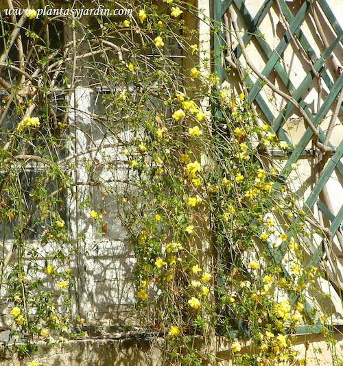 Jasminum nudiflorum, Jazmín de invierno, Jazmín de flor amarilla