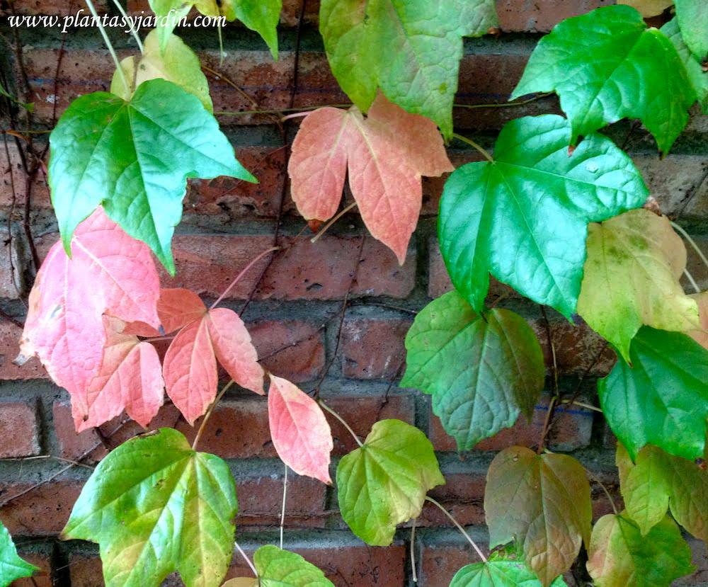 Parthenocissus tricuspidata Ampelopsis o Vitis en otoño