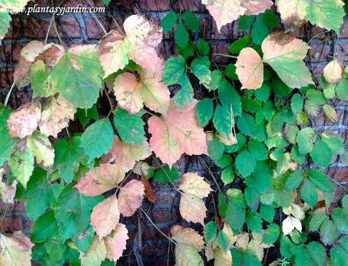 Parthenocissus tricuspidata  colores otoñales