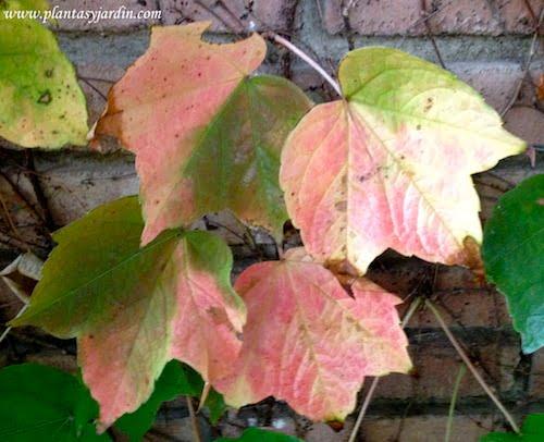 Parthenocissus tricuspidata, detalle hoja en otoño
