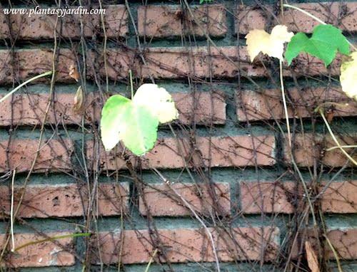 Parthenocissus tricuspidata sus tallos poseen zarcillos que terminan en ventosas por los que se adhieren a la pared
