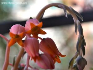 Echeveria detalle de pequeñas flores rosas
