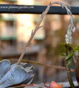 Echeveria detalle de vara floral