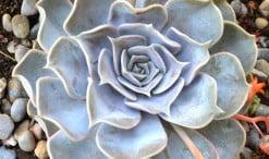 Echeveria en flor