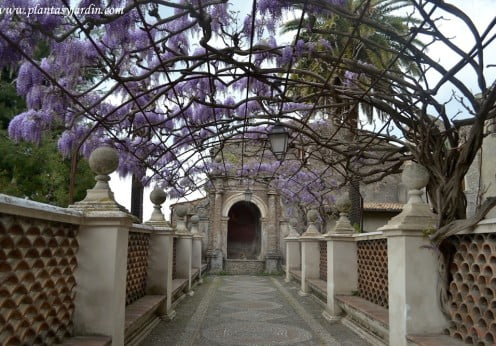 Glicina en la terraza de la Fuente del Organo en Villa dEste- Tivoli, Roma