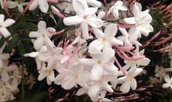 Jasminum polyanthum produce una abundante y fragante floración a finales del invierno y comienzos de la primavera