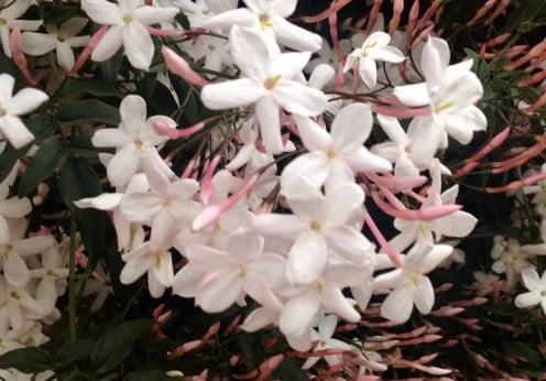 Jasminum polyanthum produce una abundante y fragante floración a finales del invierno y comienzos de la primavera