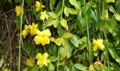 Jazmín mesnyi, detalle de flor, ramas colgantes & follaje