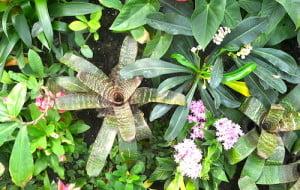 Vriesea splendens detalle de las hojas