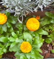 Las plantas compañeras, como método de prevención de plagas