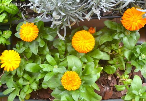 Caléndula planta compañera atrae insectos benéficos para el jardín y el huerto