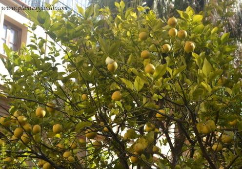 Citrus limon, Limonero lleno de frutas en invierno