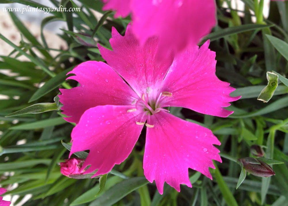 Dianthus deltoides detalle de flor