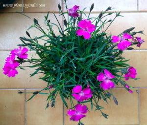 Dianthus deltoides florecida