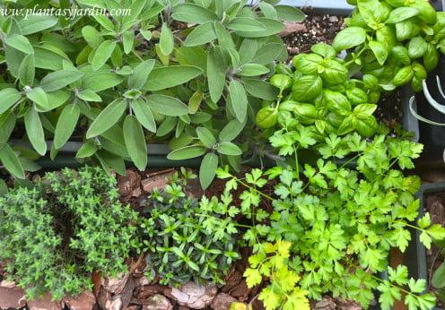 Plantas aromáticas: Salvia, Tomillo, Ajedrea, Albahaca y Perejil