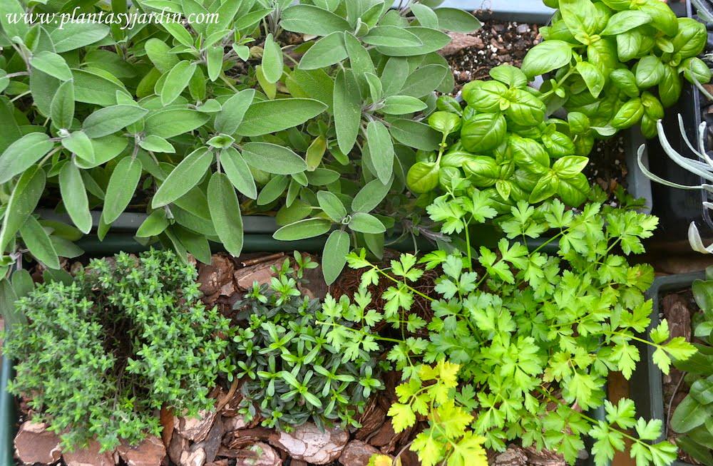 Las plantas arom ticas necesidades de cultivo plantas y jard n - Plantas aromaticas jardin ...