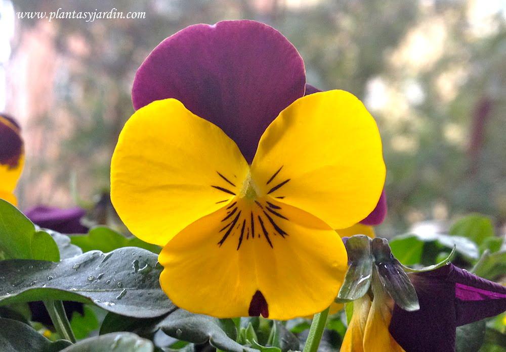 Viola cornuta detalle de flor