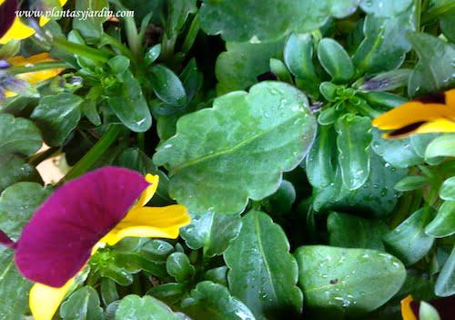 Viola cornuta detalle de hoja