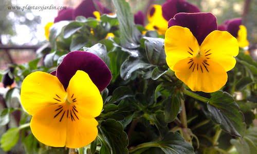 Viola cornuta florecida en invierno