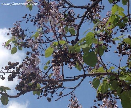 Paulownia tomentosa con flor y fruto en primavera