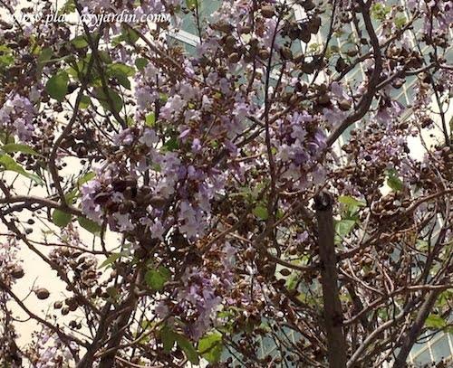 Paulownia tomentosa sinónimo de Paulownia imperialis florecida en primavera