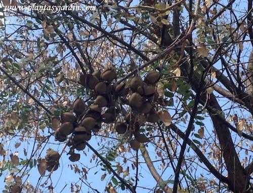 Paulownia tomentosa detalle de frutos