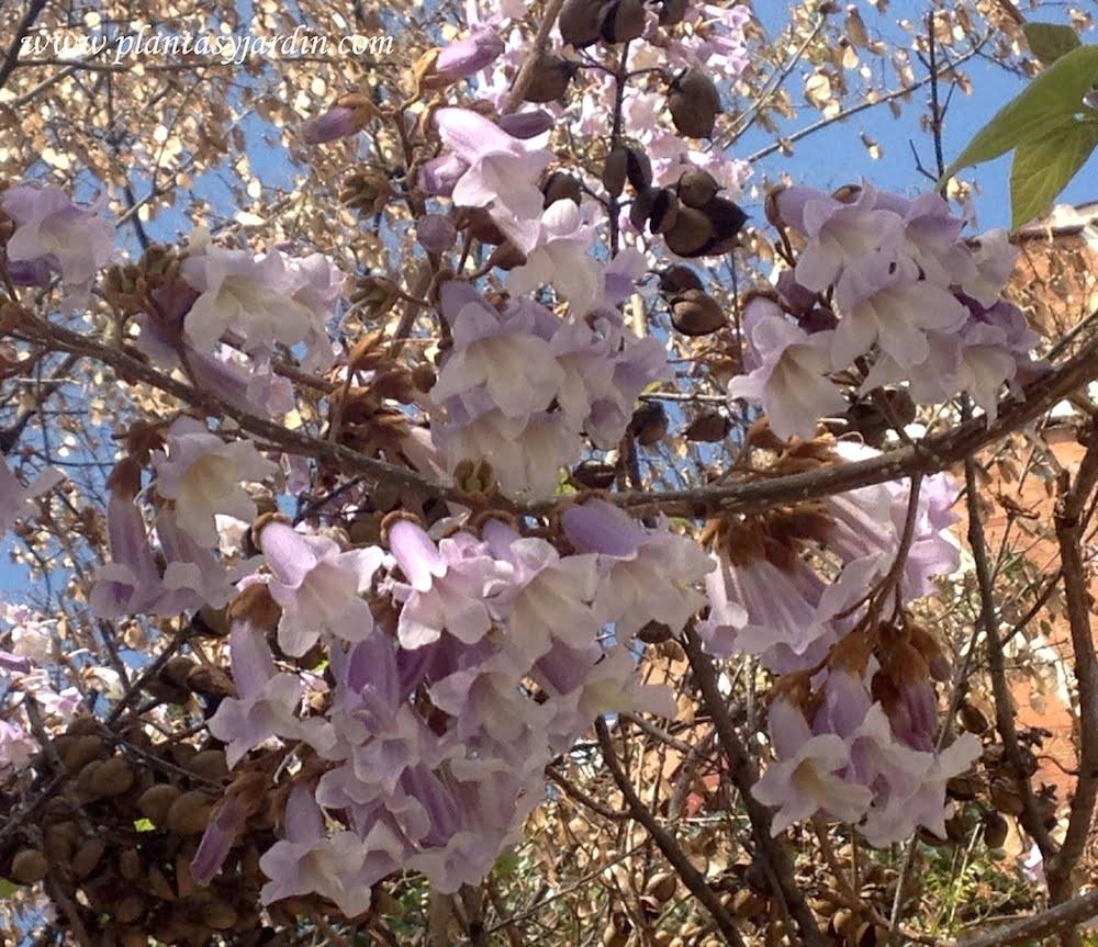 Paulownia tomentosa detalle florecida en la primavera