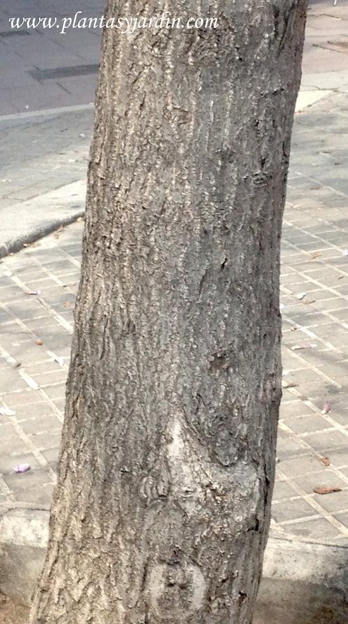 Paulownia tomentosa detalle tronco