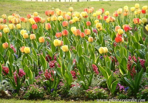 Tulipanes amarillos y naranjas en macizo, en el Jardin de Luxembourg