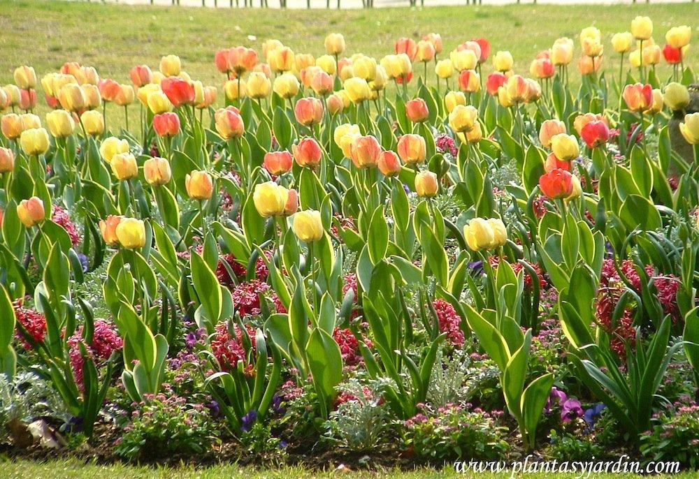 Tulipanes, necesidades de cultivo