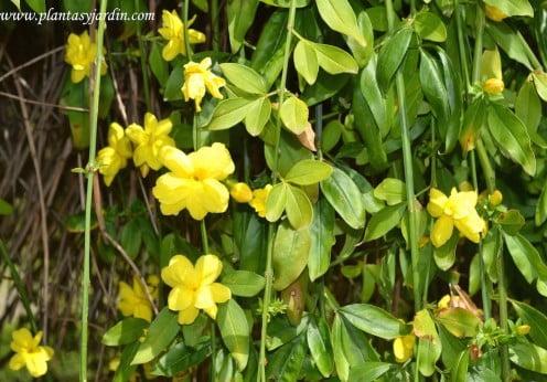 Jazminum mesnyi, detalle de flor, ramas colgantes & follaje