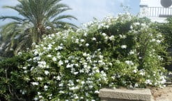 """Plumbago capensis """"Alba"""" Jazmin del cielo o Celestina de flor blanca"""