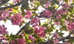 Prunus serrulata Kanzan detalle de flor y hojas